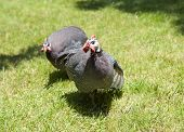 Helmeted Guinea Fowl On Grass