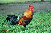 Handsome Rooster in a Garden