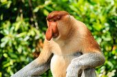 Large Male Proboscis Monkey