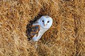 Barn Owl In A Hay Bale