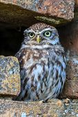 Little Owl In A Hole In A Wall