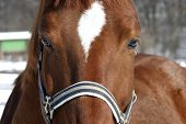 Headshot of a beautiful bay horse