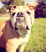 a cute bulldog outside toned with a retro vintage instagram filter