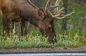 Elk Near The Road