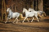 stock photo of lipizzaner  - Three white Lipizzan horse runs gallop on the dark background - JPG
