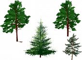 illustration with evergreen trees set isolated on white background