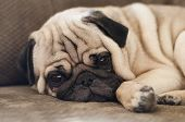 foto of pug  - Cute pug dog lying resting on the sofa keeping a watchful eye on the camera with its skin folded into adorable wrinkles - JPG