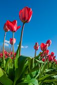 Red Tulips Against Blue Sky At The Skagit Tulip Festival