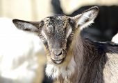 stock photo of baby goat  - Baby Goat portrait at farm in summer - JPG