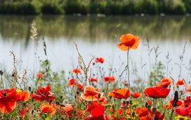 stock photo of box-end  - Budding and flowering Poppy or Papaver rhoeas plants with seed boxes at the edge of the water at the end of a sunny summer day.