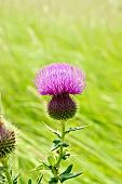 Thistle blooming on meadow