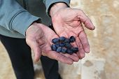 stock photo of kalamata olives  - black kalamata olives freshly picked by famer - JPG