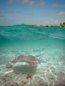 foto of stingray  - Over - JPG