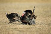 pic of wild turkey  - A wild turkey with a hen in full strut - JPG