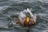 Duck Cleaning Plumage