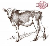 picture of cattle breeding  - vector sketch young heifer grazing grazing cattle - JPG