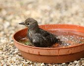 Young Starling bathing