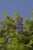 Jacaranda cuspidifolia flowering in Portugal