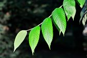 Young Leaves Of The Walnut