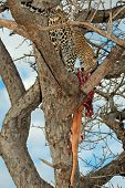 A leopard (Panthera pardus) with its impala antelope prey in a tree, Sabie-Sand nature reserve, South Africa