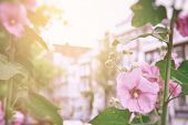 Pink hollyhock flowers in the sunlight, with the buildings of old Amsterdam in the background. Vintage film style processing