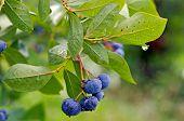 blueberry and raindrop on bush