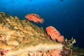 foto of grouper  - Coral Grouper fish on underwater ocean reef - JPG