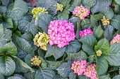 Pink Hydrangea. A Lot Of Hydrangeas Bloomed Around