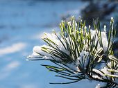 Snowy Pine Branch In Nature Lit By The Sun