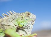 Head Of A Chameleon Against Blue Sky