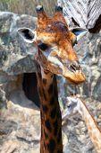 Portrait Of A Giraffe