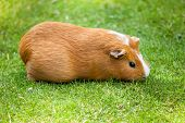 Brown and white Guinea pig eating grass