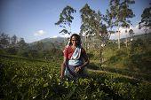 MASKELIYA, SRI LANKA - JANUARY 4 : Female tea picker in tea plantation in Maskeliya, January 4, 2015. Directly and indirectly, over one million Sri Lankans are employed in the tea industry.