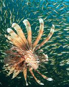 stock photo of school fish  - Lionfish hunting fish school - JPG