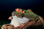 Clown Anemonefish (Nemo) and anemone