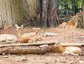stock photo of deer family  - A group of deer in the zoo - JPG