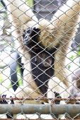 Pileated Gibbon Female Through The Baluster.