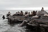 Steller Sea Lion Or Northern Sea Lion (eumetopias Jubatus) Rookery. Kamchatka Peninsula