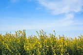 field of yellow rapeseed and the blue sky