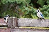 stock photo of blue jay  - Hairy woodpecker raiding Blue jay food cache bird behavior - JPG