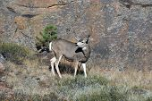 stock photo of mule  - A large mule deer buck standingon a rocky hillside in Rocky Mountain National Park near Estes Park Colorado - JPG