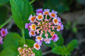 pic of lantana  - Lantana or Wild sage or Cloth of gold or Lantana camara flower in garden