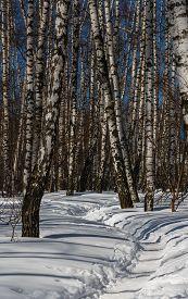 foto of birchwood  - Footpath trodden in snow in a snow - JPG