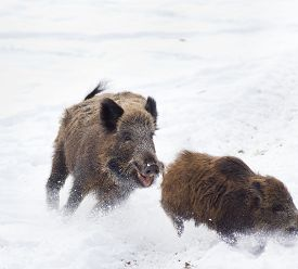 stock photo of boar  - Young wild boar running away from older wild boar on the snow  - JPG