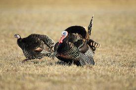 foto of turkey-hen  - A wild turkey with a hen in full strut - JPG