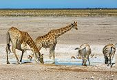 Постер, плакат: A waterhole in etosha with Giraffes bending to drink and zebras