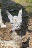picture of lamas  - Newborn white Llama  - JPG