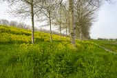 foto of birching  - Yellow wildflowers in spring and birches under a cloudy sky
