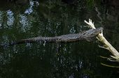 image of swamps  - gator laying on log in the swamp - JPG