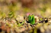 picture of germination  - Macro detail of germination - JPG